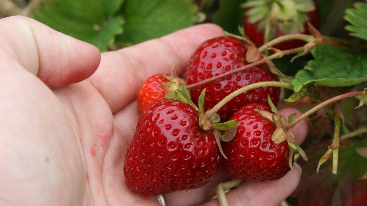 Томат пальчики мальвины: отзывы, фото, урожайность