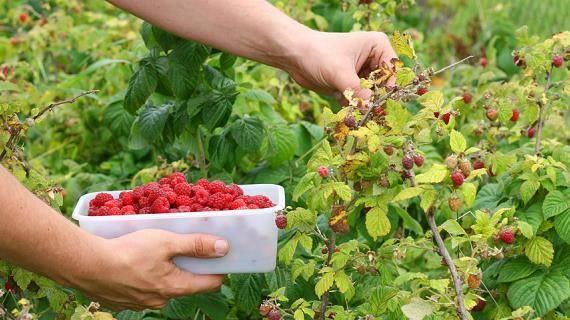 Подкормка малины во время цветения и плодоношения