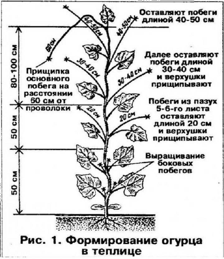 Прищипка огурцов в теплице: схемы и правила проведения процедуры