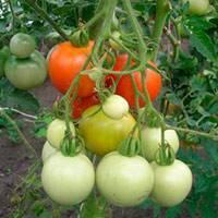 Сорт томата «любимый праздник»: описание, характеристика, посев на рассаду, подкормка, урожайность, фото, видео и самые распространенные болезни томатов