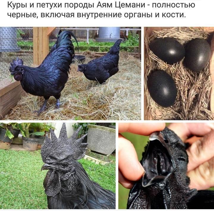 Порода кур аям цемани порода