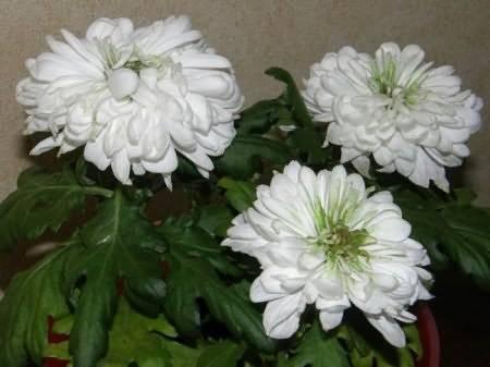 Какими способами можно избавиться от тли на хризантеме домашней?