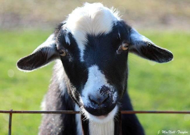 Почему овцы падают в обморок при испуге. козы, которые при испуге падают в обморок