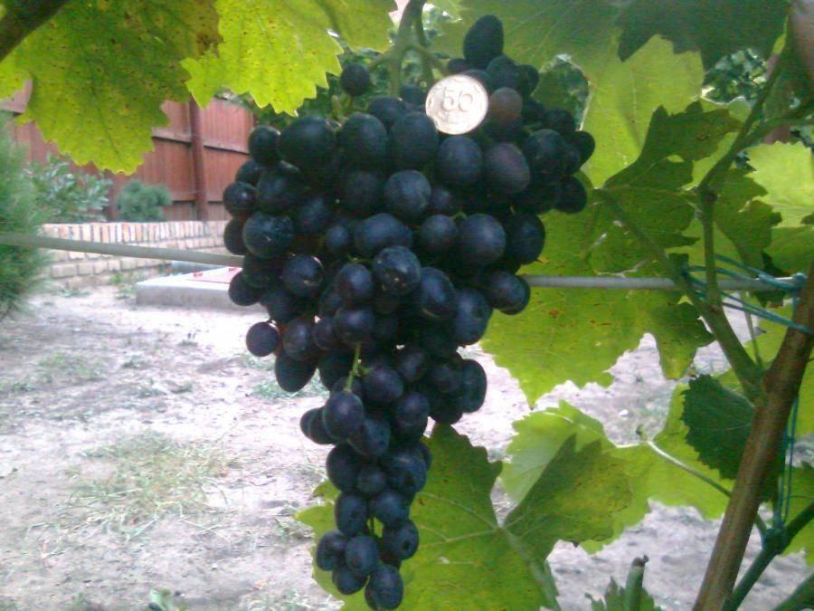 Виноград «кишмиш чёрный»
