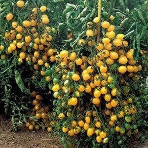 Топ 100 лучших сортов помидоров от сайта современная усадьба