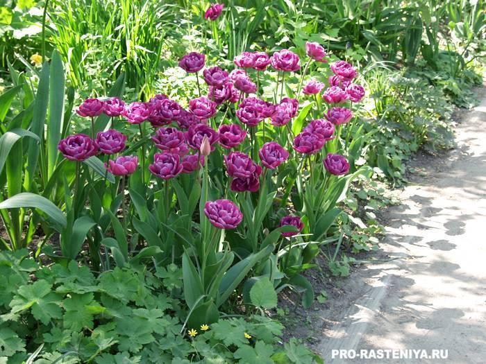 Семенной способ размножения тюльпанов