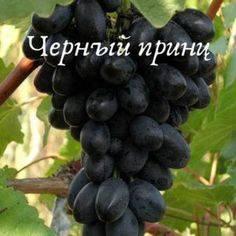 Описание сорта винограда Зилга, его характеристики и секреты агротехники