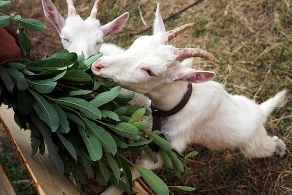 Понос у коз – выясняем причину и лечим самостоятельно