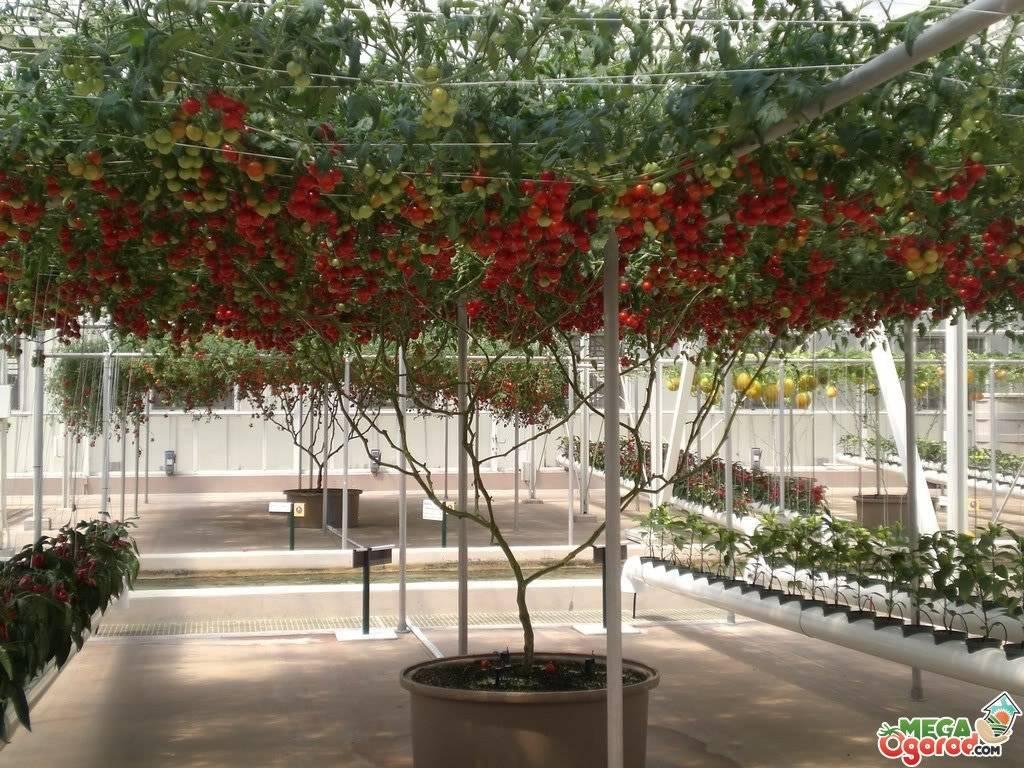 Что такое томатное дерево: выращивание дома и в открытом грунте