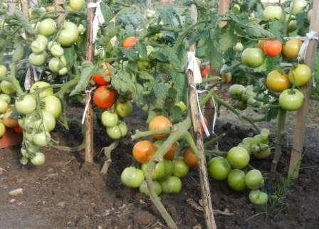 Сортовые особенности томата катя f1 и отзывы дачников о гибриде