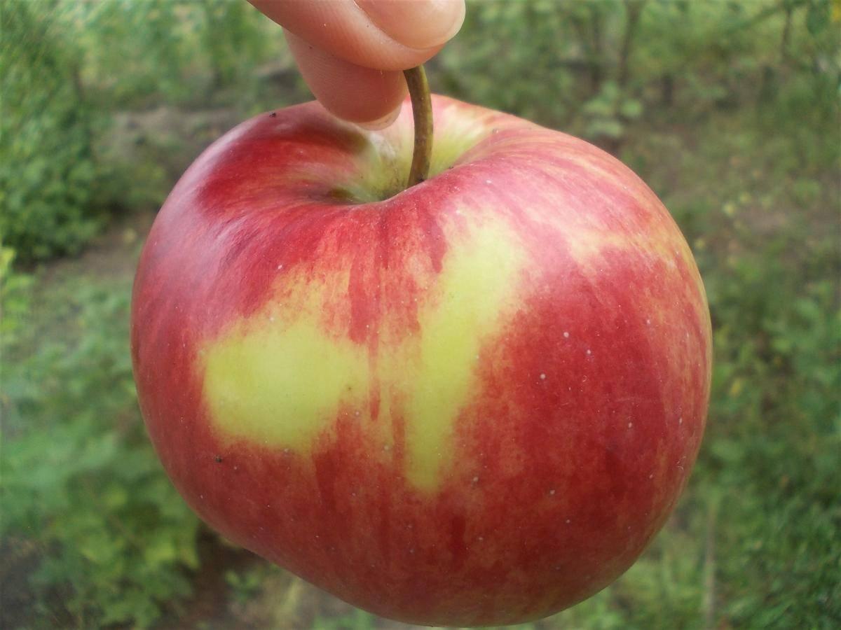 Яблоня елена: особенности сорта и ухода