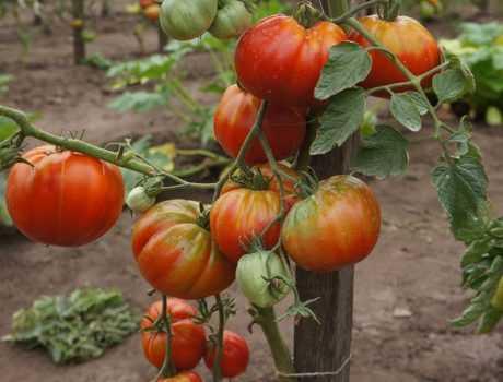 Оригинальные плоды и особенный вкус — томат «царский подарок»: описание сорта, фото, особенности выращивания