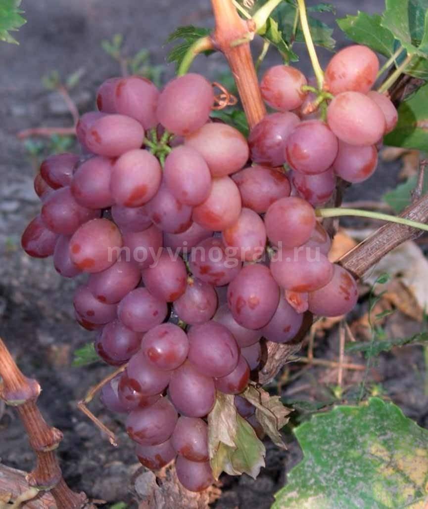 Виноград преображение: описание сорта, выращивание