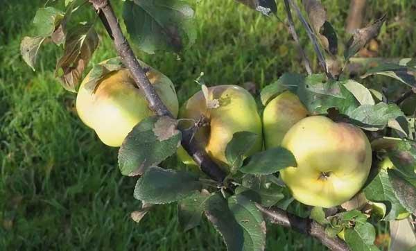 Яблоки спартан: описание сорта, преимущества и недостатки