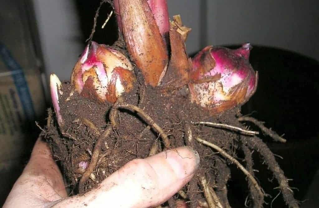 Зимнее хранение саженцев роз в подвале, на балконе и в холодильнике