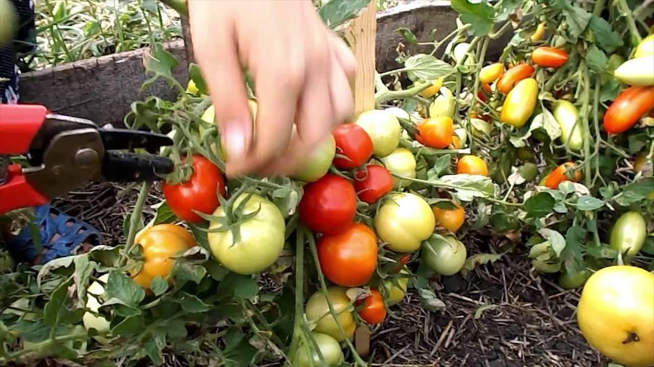 Какую урожайность можно ожидать от сорта томатов «ранняя девочка»