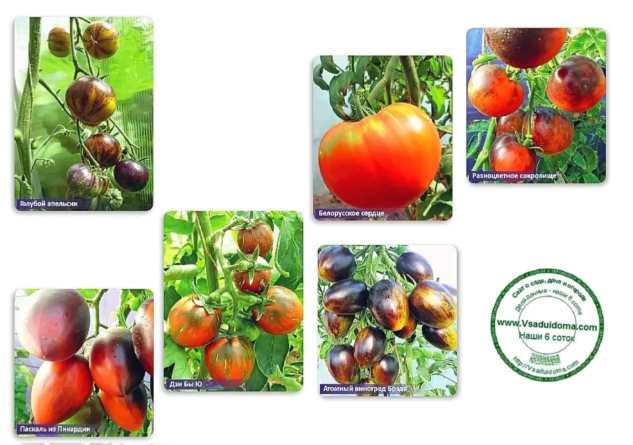 Стоит ли пробовать вырастить томат «пузата хата» и чем он может приглянуться новичкам и опытным фермерам