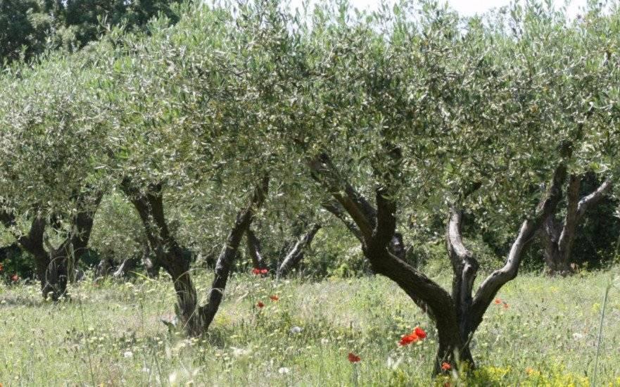 Нолина или бокарнея уход в домашних условиях выращивание из семян фото бутылочного дерева