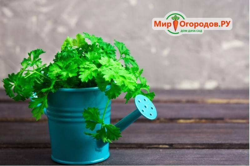 Как получить хороший урожай петрушки? когда ее сажают весной в открытый грунт?