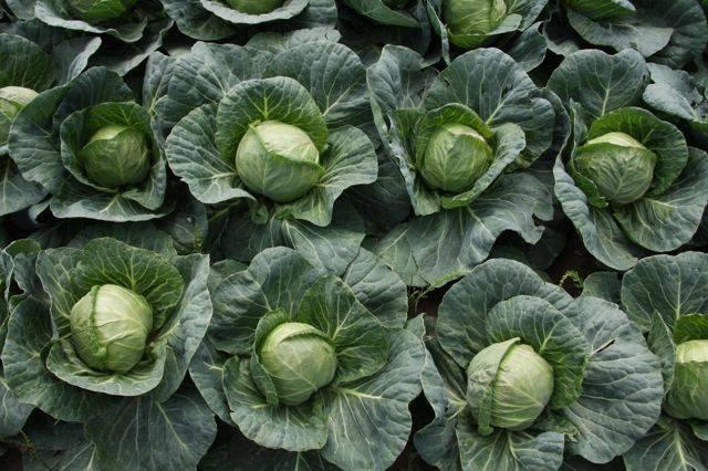 Чем лучше подкормить капусту после высадки в открытый грунт