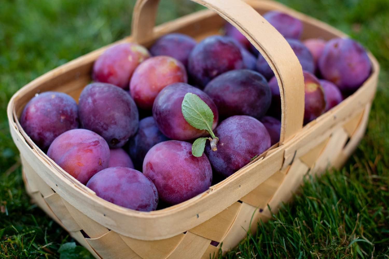 Описание видов сливы сорта Ренклод, польза и вред, урожайность и выращивание