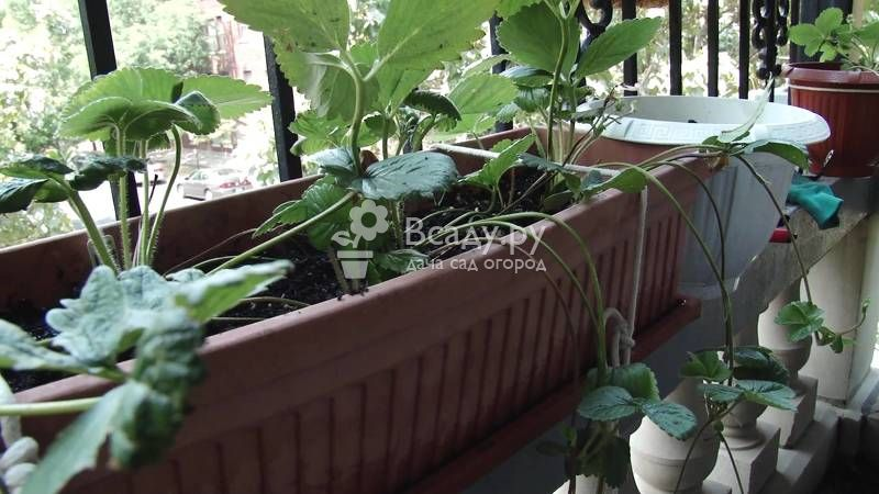 Выращиваем садовую землянику (клубнику) по голландской технологии