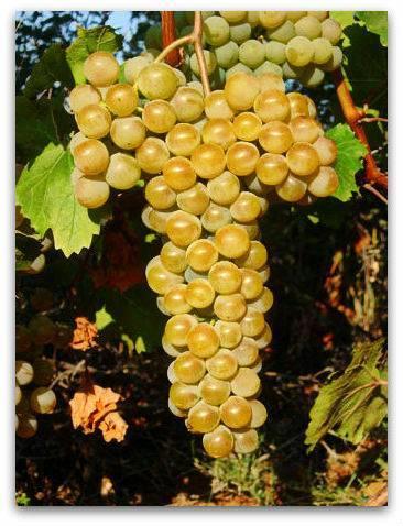 Виноград цитронный магарача – описание сорта и методы его переработки + видео