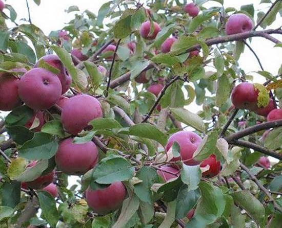 Рассказываем про сорта яблонь в беларуси