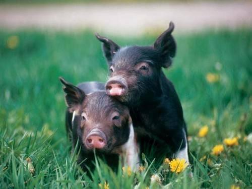 Свиноводство: особенности разведения и ухода