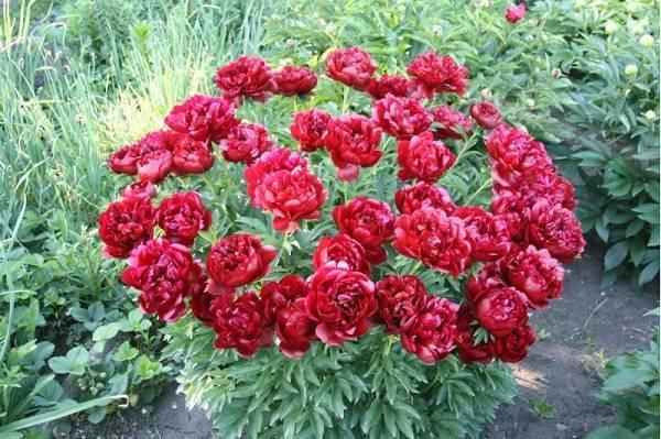 Пион команд перфоманс — выращивание сорта в саду