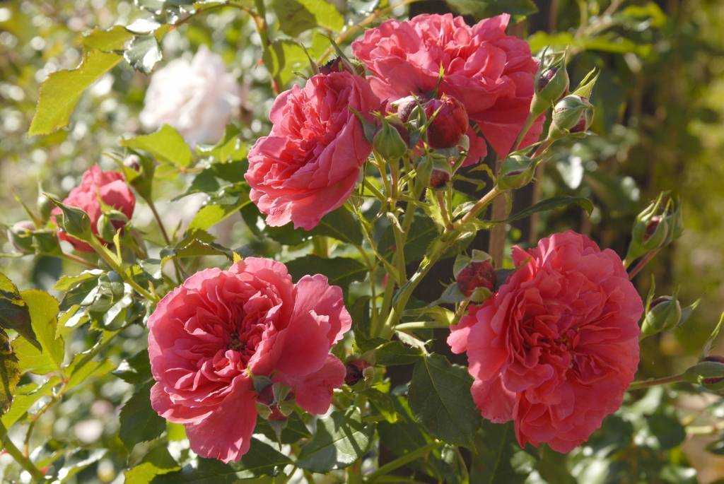 Роза «розариум ютерсен»
