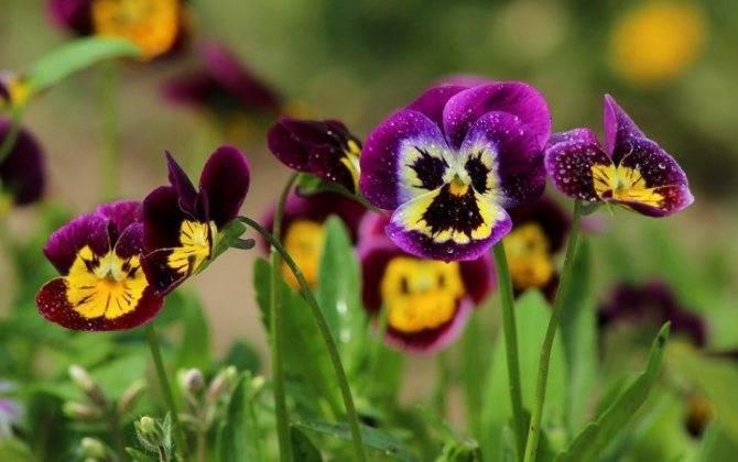 Анютины глазки (виола): когда и как сажать на рассаду