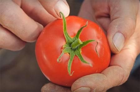 Томат любаша: описание нового урожайного сорта, особенности выращивания, отзывы и фото дачников