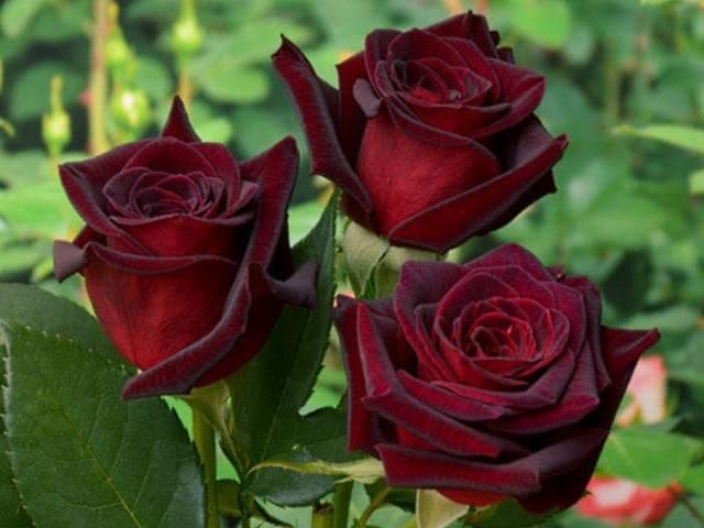 Описание и характеристики розы сорта Черная магия, посадка и уход