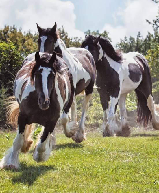 Алтайская порода лошадей: описание, характеристика, экстерьер, разведение