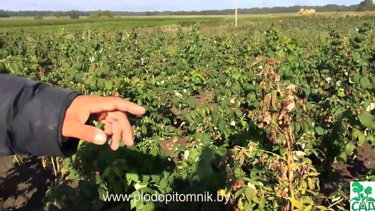Малина сорт моллинг джуно: великолепный вкус и сверхранний урожай