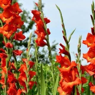 Почему не цветут гладиолусы: причина, методы лечения и профилактики