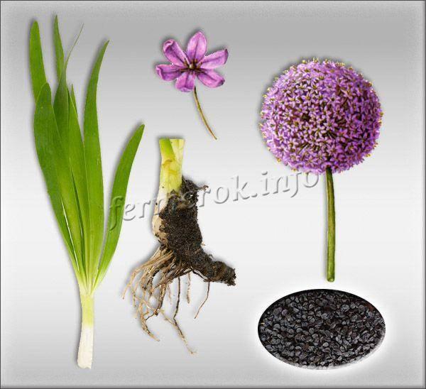 Декоративный лук: популярные разновидности и нюансы выращивания
