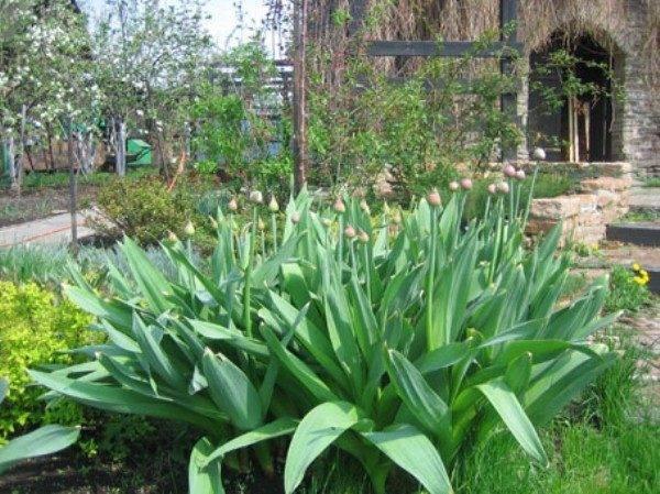 Суворовский лук — польза и вред, как едят чеснок суворова