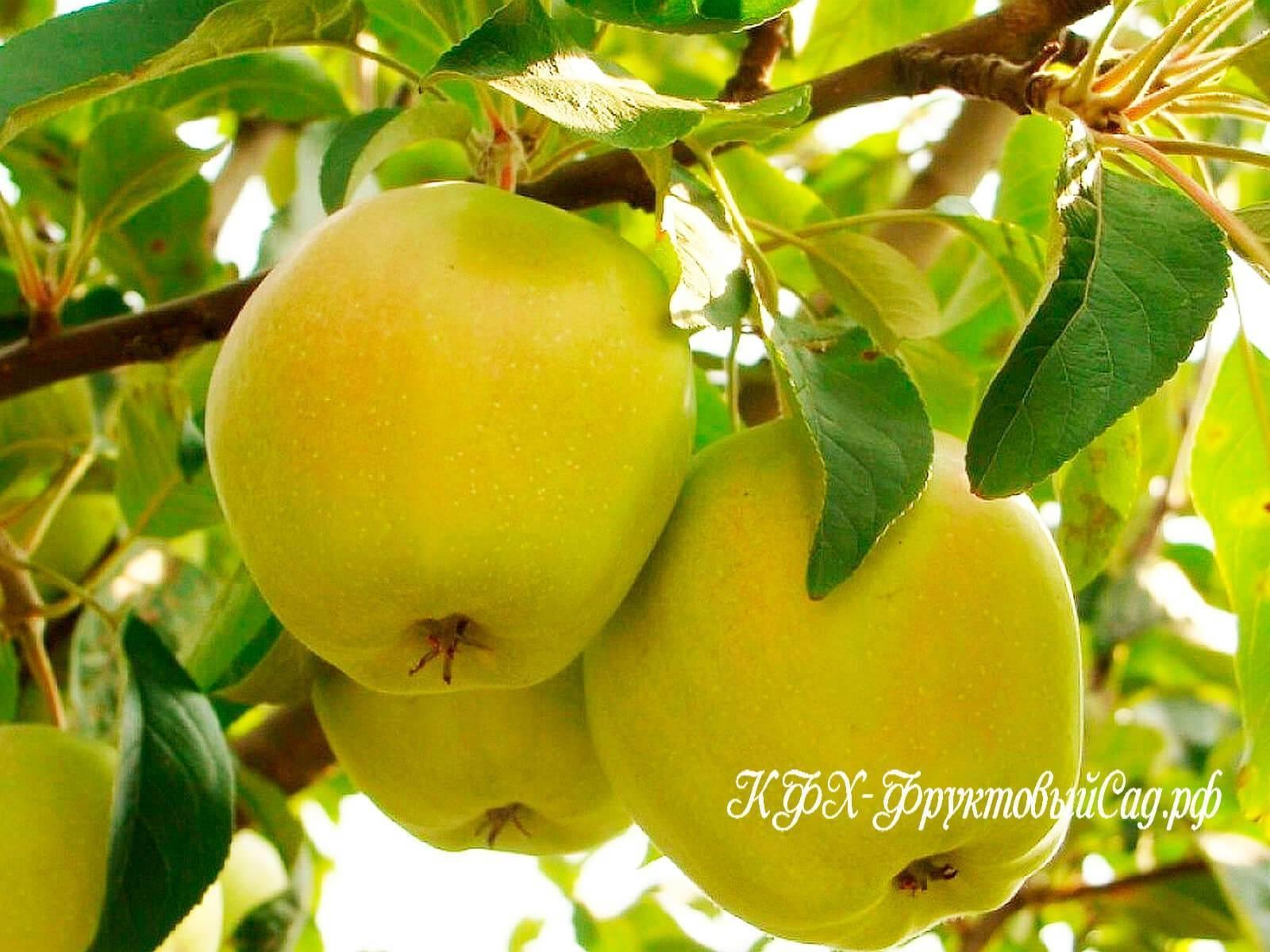 Характеристики и описание сорта яблонь теллиссааре, сроки плодоношения и устойчивость к заболеваниям