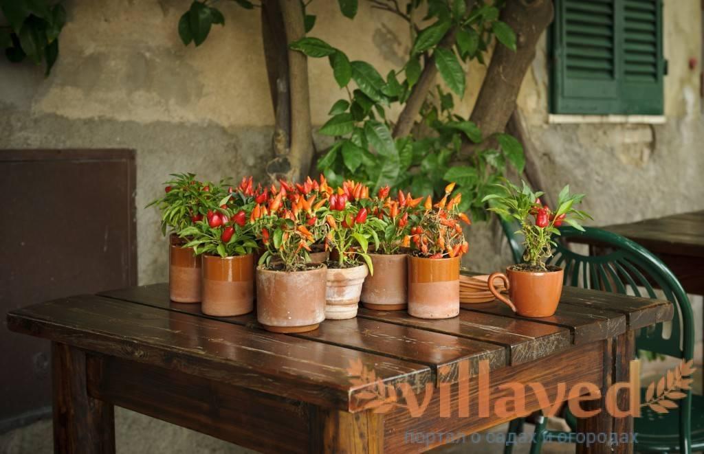 Выращивание и уход за декоративным перцем в домашних условиях