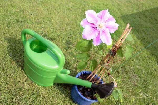 Сорта клематиса: сорта 3 группы, обрезка, посадка, выращивание и уход
