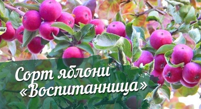 Описание яблони сорта «звёздочка»: характеристики, фото, отзывы садоводов