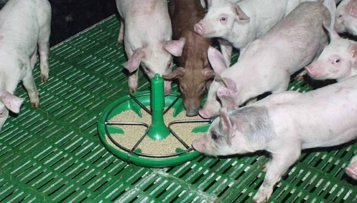 Как самостоятельно сделать кормушку для свиней?