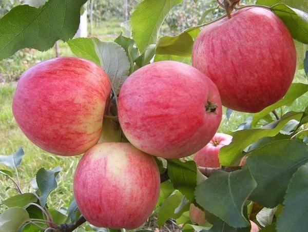 Яблоня жигулевское: особенности сорта и ухода