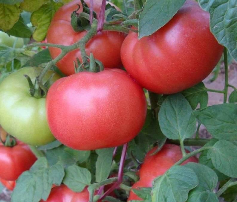 Описание сорта томата золото востока, его характеристика и урожайность