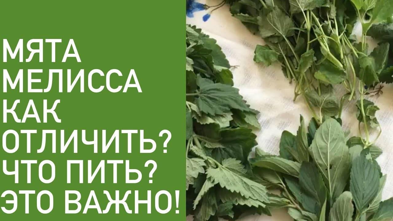 Отличия мяты от мелиссы и их полезные свойства. где применяются и какое растение лучше?