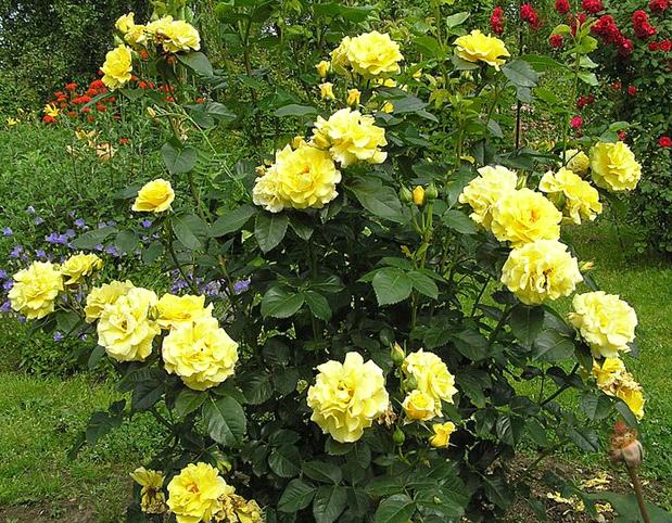 Описание и характеристики роз сорта Фрезия, технология выращивания