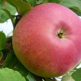 Описание сорта яблони дачное
