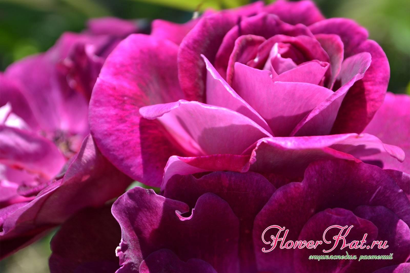 Описание и правила выращивания плетистой розы сорта Айсберг